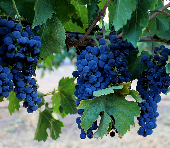 Craneford Grapes